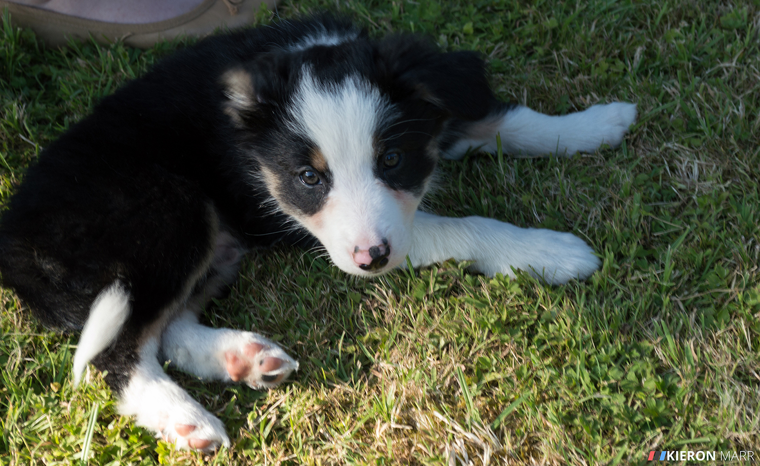 Del boy the Border Collie Puppy