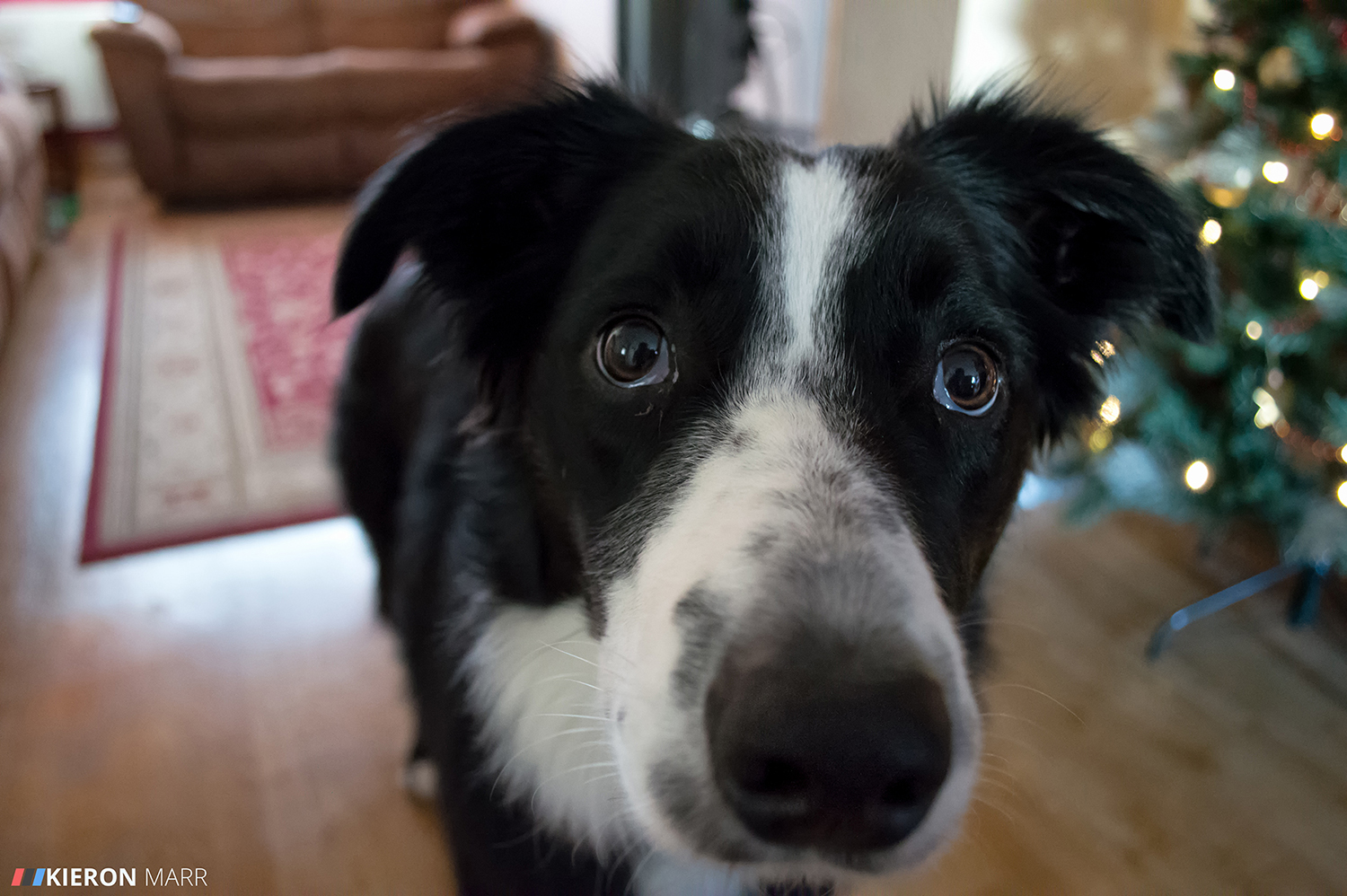 Oscar the Border Collie