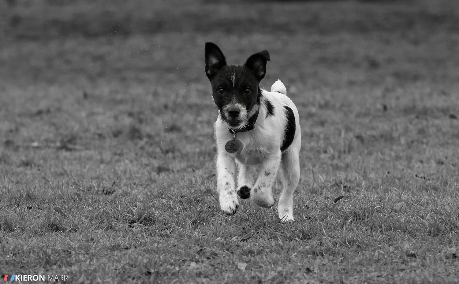 Stan the Jack Russell