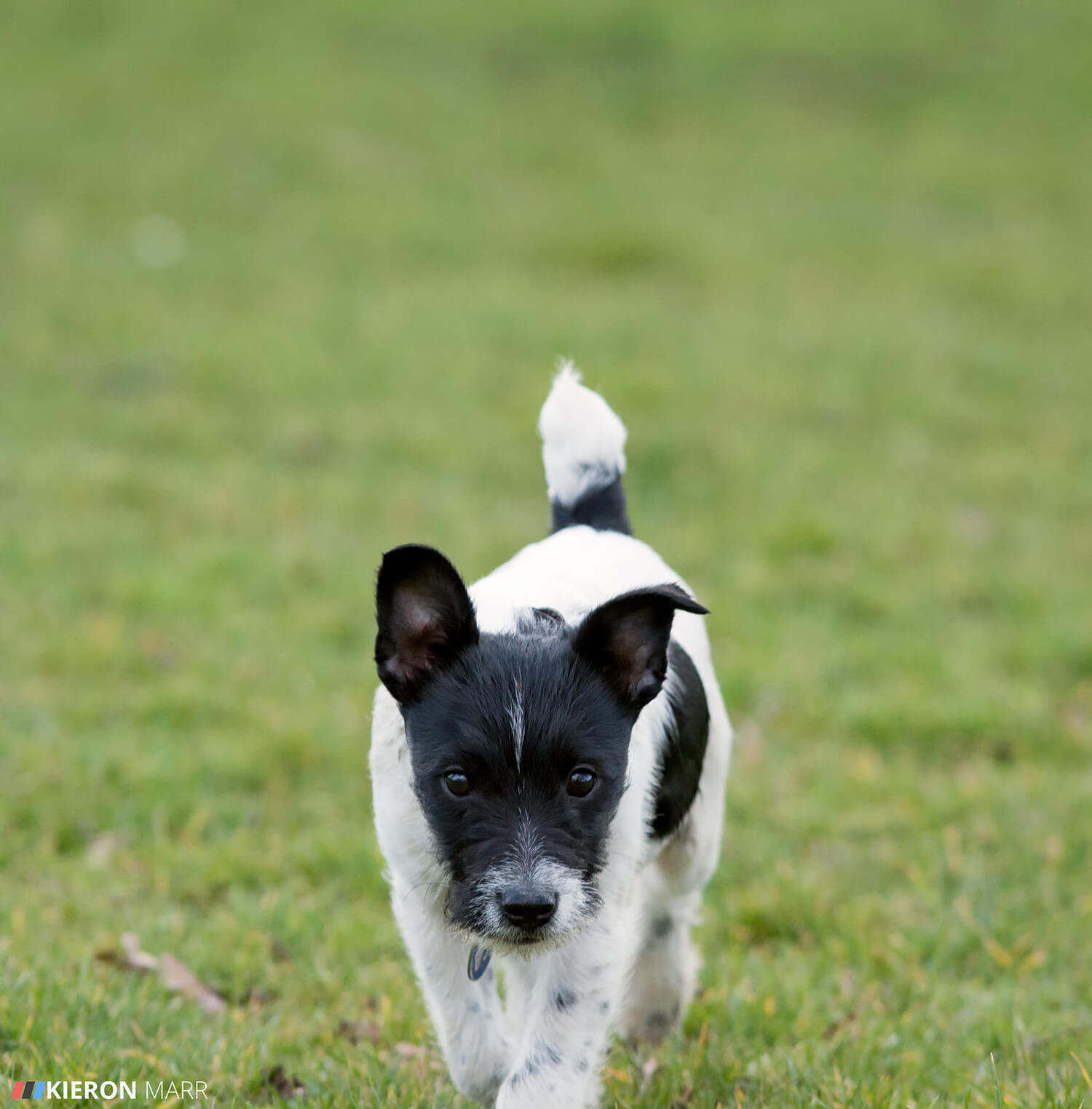 Stan the Jack Russell stalking walk